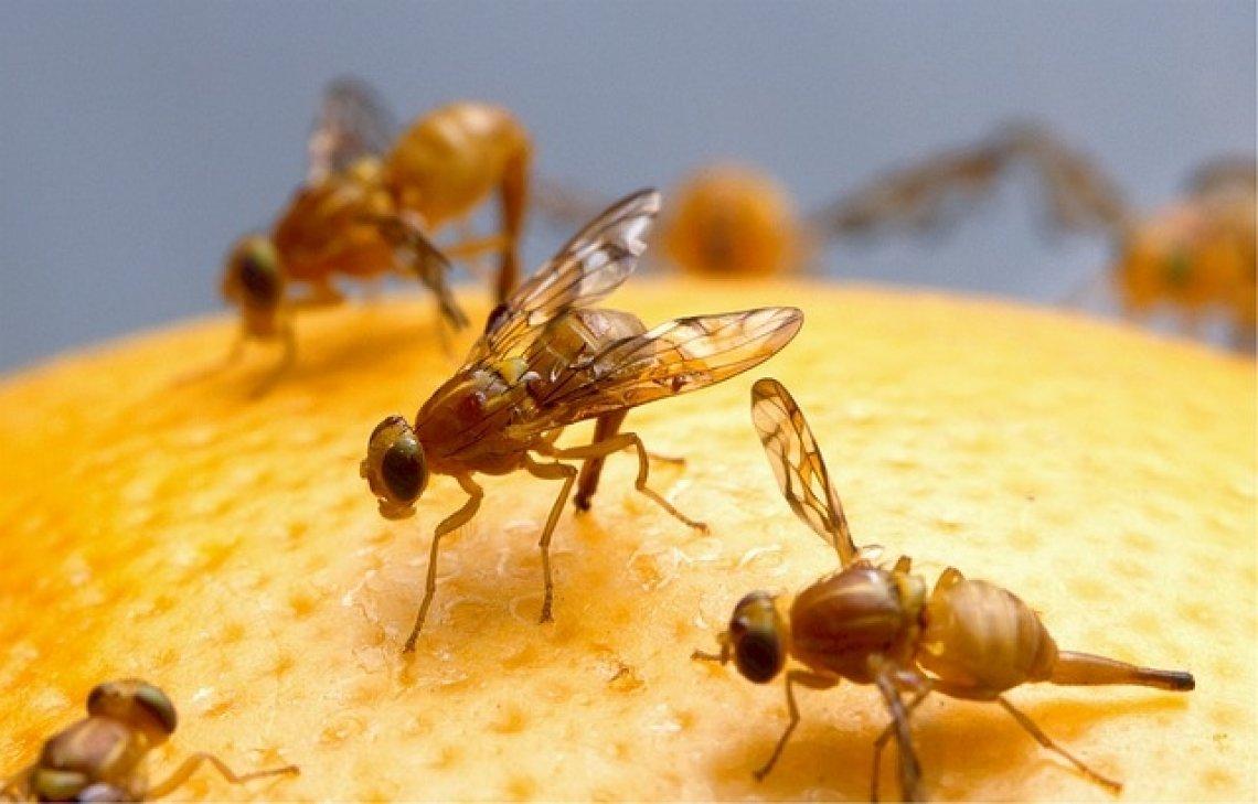 Octomilka - octomilky v domácnosti, hmyz, škůdci