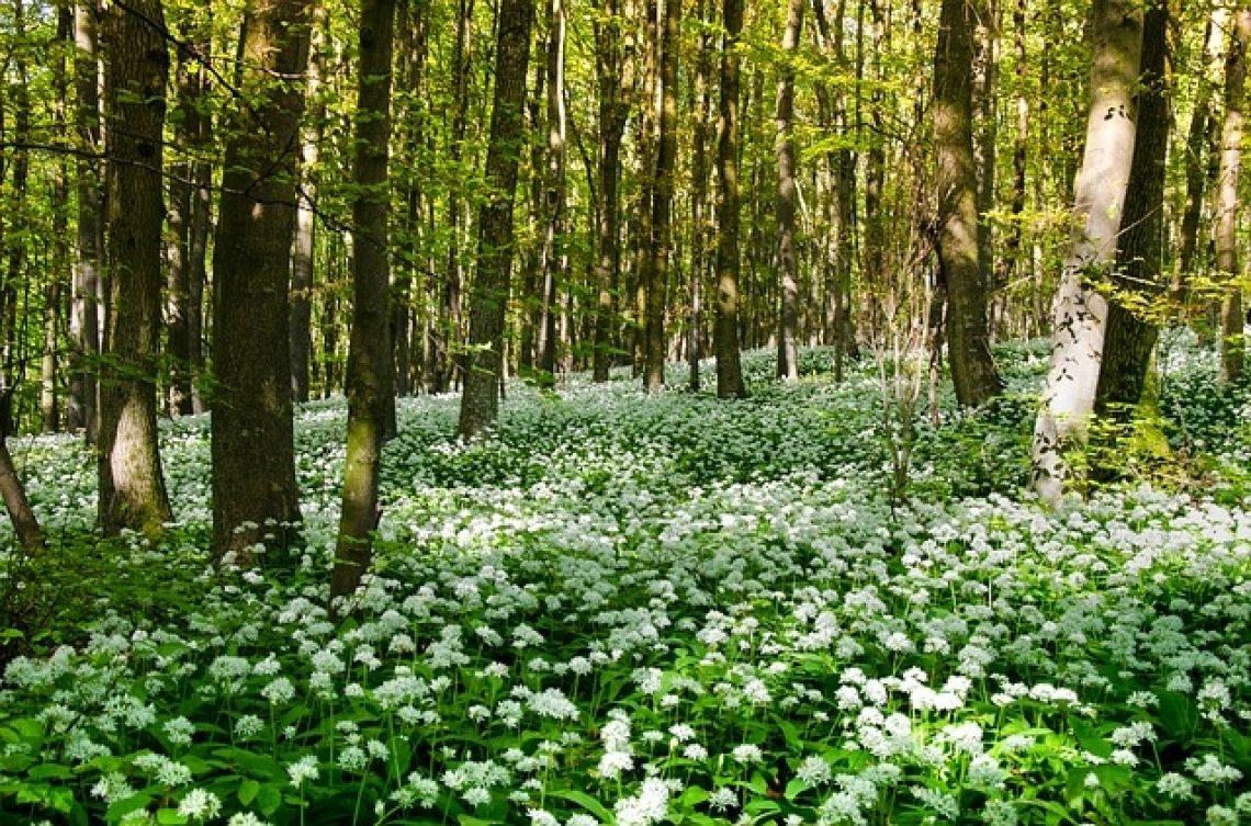 Medvědí česnek: les, medvědí česnek v lese, kdy a kde roste.